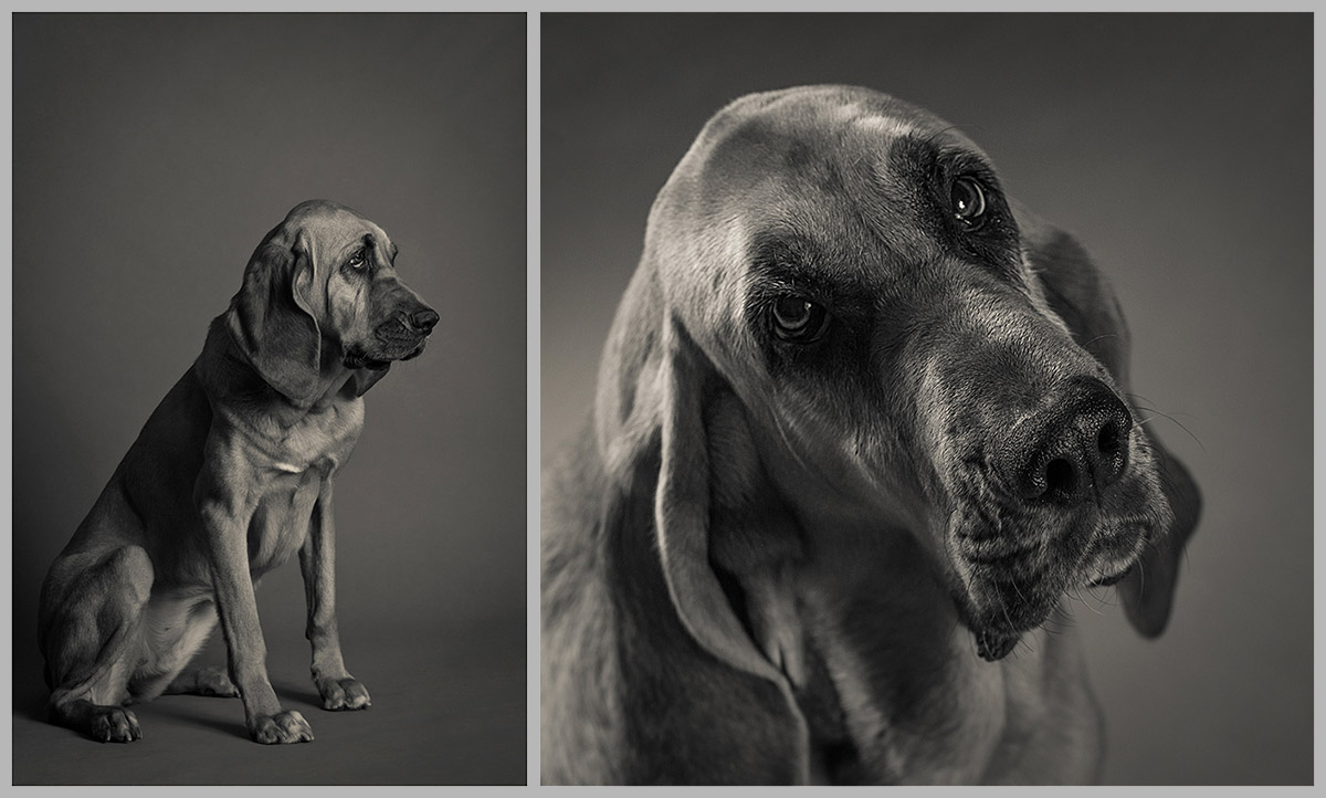 Pandora the Bloodhound